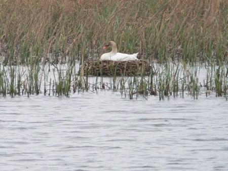 P1030264 ( コブハクチョウ :カモ目 :カモ科 :全長約152cm )  牛久沼で白鳥